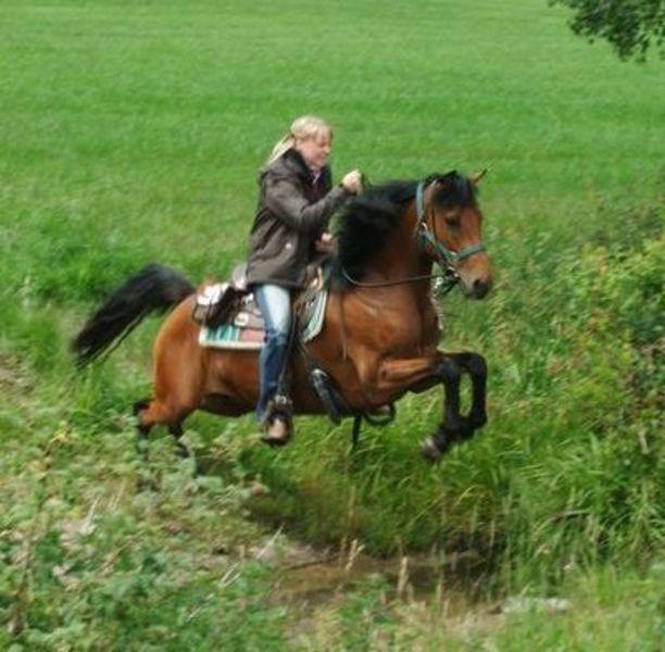 American Morgan Horses Stockborn Ranch